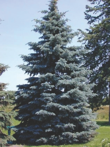 co blue spruce tree