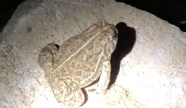 muskrat toad