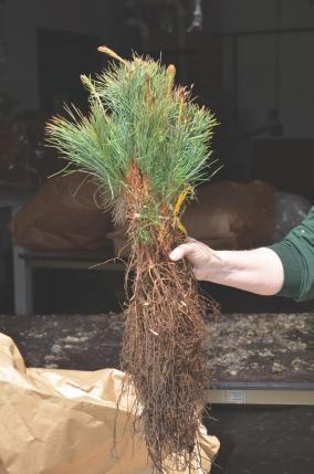 one bundle of 25 seedlings