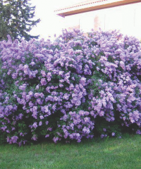 Lilac, Common
